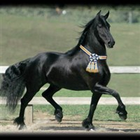 Friesians of Majesty